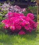 Arbusti foiosi cu flori