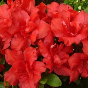 poza Arbusti cu flori AZALEA JAPONICA ORANGE  planta cu diam de 030-040 cm