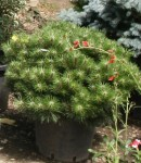 Arbusti rasinosi / conifere