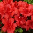 Poza Arbusti cu flori AZALEA JAPONICA JOHANNA VLT 10, planta cu diam. de 040-050 cm. Poza 11303