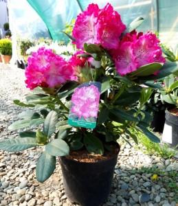 poza Arbusti cu flori RHODODENDRON HYBRIDE GERMANIA  ,h=60 cm