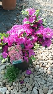 poza Arbusti cu flori RHODODENDRON Konigstein ,h=40cm