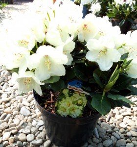 poza Arbusti cu flori RHODODENDRON Flava ,h=40cm