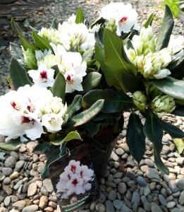 poza Arbusti cu flori RHODODENDRON PICOBELLO ,h=60 cm
