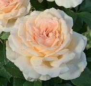 poza Trandafiri de gradina   soiul Sweet Love