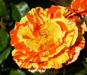 poza Trandafiri de gradina Floribunda 'Papagena` la ghiveci de 3l