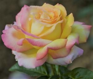 poza Trandafiri de gradina   `Mme a Meilland` la ghiveci de 3l