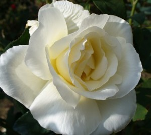 poza Trandafiri de gradina soiul 'Mounth  Shasta'