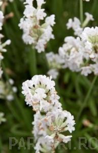 poza Flori perene LEVANTICA / LAVANDULA ANGUSTIFOLIA Aromance White in ghiveci de 1 litru