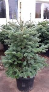 Poza Arbori rasinosi ABIES NORDMANNIANA (Bradul Caucasian) h=150-175 cm. Poza 12719