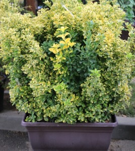 poza Arbust frunze persistente EUONYMUS JAPONICUS Eleg Casetta