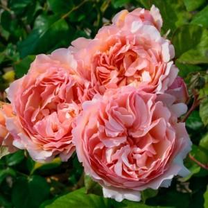 poza Nou!! Butasi de trandafiri de gradina cu radacina ambalata soiul 'PRINCESSE CHARLENE DE MONACO'