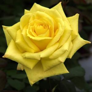 poza Nou!! Butasi de trandafiri de gradina cu radacina ambalata soiul 'NICOLAS HULOT'