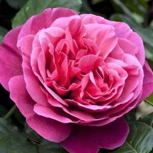 poza Trandafiri de gradina cu radacina ambalata soiul  Line Renaud