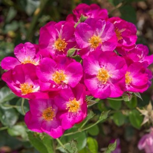 poza Trandafiri de gradina cu radacina in ghiveci Rosen Tantau - Global WATER ghiv 3 l - H 80-100 cm