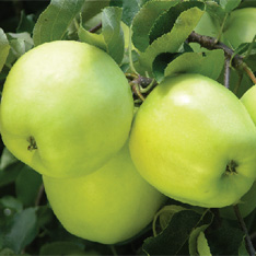 poza Meri soiul `Early Gold`. Pomi fructiferi puieti altoiti, cu radacina ambalata.