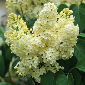 Poza Liliac GALBEN ,parfumat cu flori duble, SYRINGA VULGARIS PRIMROSE ghiveci 25l, h=100-125 cm. Poza 12874