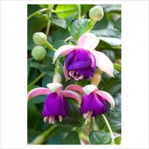 poza Fuchsia hybrida  Fuchsia Pink Ballet Girl ( alb cu mov) la ghiveci de 12cm