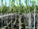 Pomi fructiferi la ghiveci