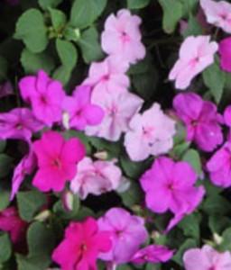 poza Flori de gradina anuale IMPATIENS WALERIANA nuante de roz / SPORUL CASEI Flori la set ( 6 buc/set)