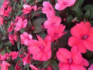 poza Flori de gradina anuale IMPATIENS WALERIANA ROSU CORAI / SPORUL CASEI Flori la ghivece de 12 cm