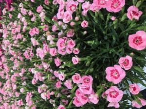 poza Flori de gradina perene GAROFITE/ Dianthus diantica  roz ghiv 12 cm