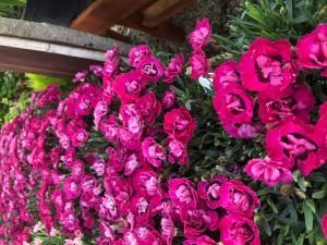 poza Flori de gradina perene GAROFITE/ `Dianthus diantica ciclam  `ghiv 12 cm