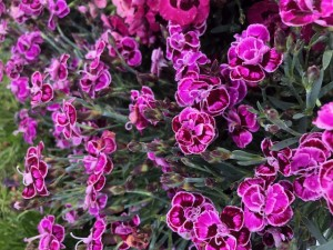 poza Flori de gradina perene GAROFITE/ Dianthus diantica  purple ghiv 12 cm