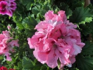 poza Plante de balcon muscate Pelargonium Grandiflorum Regalia Pink ghiv 12 cm