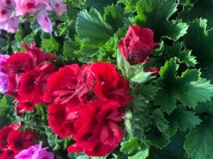 poza Plante de balcon muscate Pelargonium Grandiflorum Regalia Red -Chocolate  ghiv 12 cm