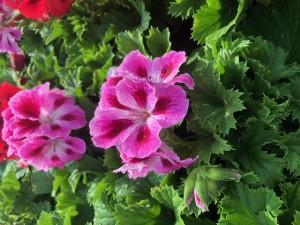 poza Plante de balcon muscate Pelargonium Grandiflorum Regalia  lavanda ghiv 12 cm