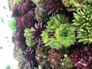 poza Flori de gradina perene Sempervivum ghiv 11x11  cm