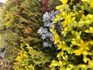 poza Flori de gradina perene SEDUM Soiuri mixte ghiv 11x 11 cm