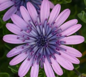 poza Flori de balcon OSTEOSPERMUM  MOV -ghiv 12