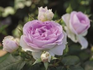 poza Trandafiri de gradina cu radacina soiul 'Saphir' ghiv 3 l