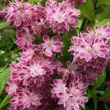 Poza Arbusti de gradina DEUTZIA hybrida `Strawberry Fields`  la ghiveci de 3  litri tufa formata h= 35-40cm. Poza 13010
