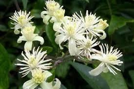 poza Plante agatatoare Clematis vitalba ghiveci 2 litri, h=100-125 cm