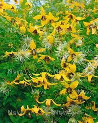 poza Plante agatatoare Clematis tibetana tangutica ( clematis galben)    ghiveci 3  litri, h= 80-100 cm
