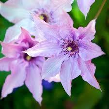 poza Plante agatatoare Clematis Hagley Hybrid  ghiveci 2 litri, h=80-100 cm