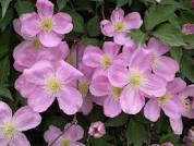 poza Plante agatatoare Clematis montana Tetrarose  ghiveci 2 litri, h=80-100 cm