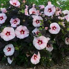 poza Flori perene Hibiscus SUMMERIFIC  Perfect Storm nalba, 35- 40 cm - ghivece de 5 litri