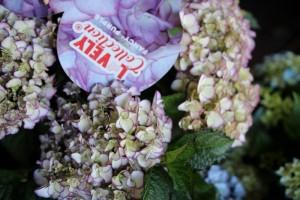 poza Arbusti gradina HYDRANGEA macrophila Fancy Purple    (hortensia)   h=  35-40cm ghiveci 5 litri