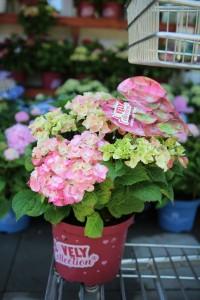 poza Flori perene Hortensia  HYDRANGEA MACROPHYLLA GREEN LIPS PINK  h=30- 40 cm, ghiveci 5 litri