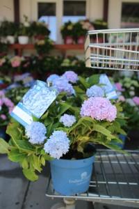 poza Flori perene Hortensia / HYDRANGEA MACROPHYLLA Endless Summer  BLUE h=35-40 cm, ghiveci 5 litri