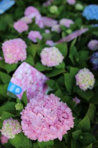 poza Flori perene Hortensia / `HYDRANGEA MACROPHYLLA Endless Summer  Pink ` h=35-40 cm , ghiveci 5 litri