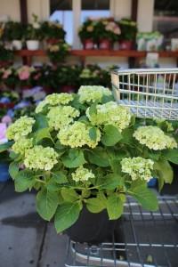 poza Flori perene Hortensia / HYDRANGEA MACROPHYLLA Wit  h=50-70 cm , ghiveci 10 litri