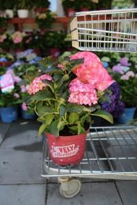 poza Flori perene Hortensia / HYDRANGEA MACROPHYLLA RED h=40 cm, ghiveci 5 litri