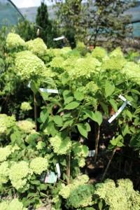 poza Flori perene Hortensia / HYDRANGEA  PANICULATA Limelight  pe picor  h = 80 -100 cm