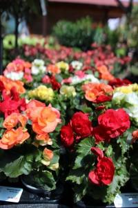 poza Flori de balcon BEGONIA TUBERHYBRIDA ELIATOR
