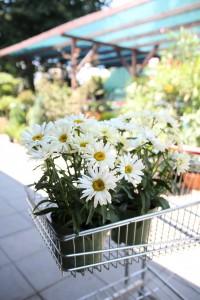 poza Flori de gradina perene Chrysanthemum leucanthemum Banana Crem